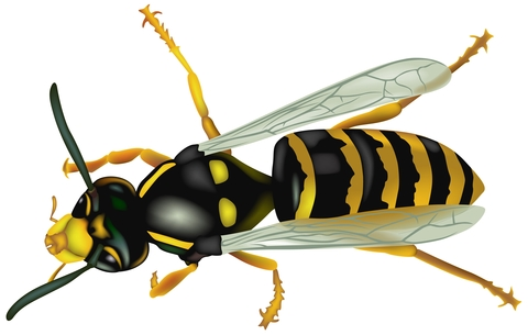 Wasp Pest Control